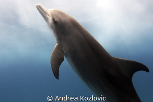 This young Atlantic spotted dolphin was so bold and curio... by Andrea Kozlovic